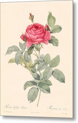 Rosa Gallica Pontiana Metal Print by Pierre Joseph Redoute