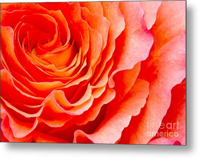 Rose Metal Print by Angela Doelling AD DESIGN Photo and PhotoArt