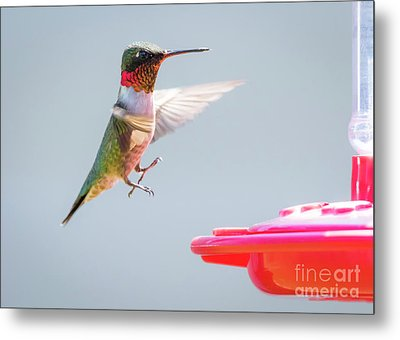 Ruby-throated Hummingbird  Metal Print by Ricky L Jones