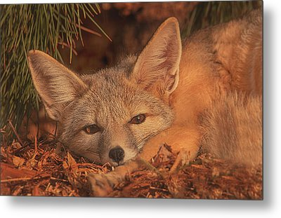 San Joaquin Kit Fox  Metal Print