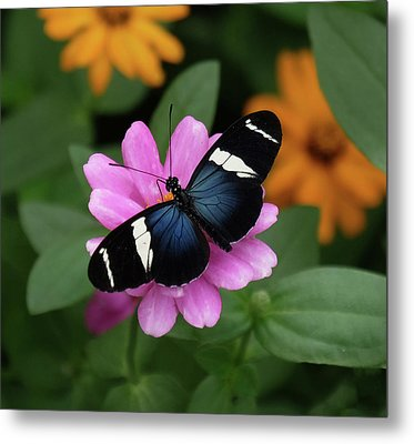 Sara Longwing Butterfly Metal Print