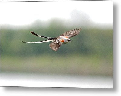 Scissor-tailed Flycatcher In Flight Metal Print