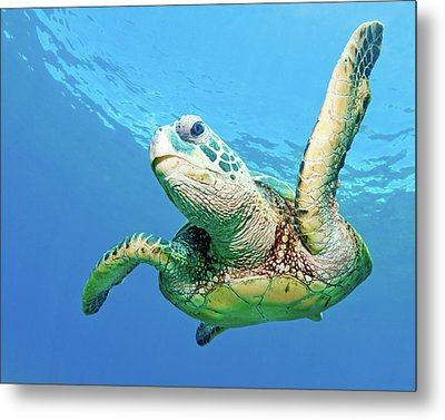 Sea Turtle Metal Print by Monica and Michael Sweet