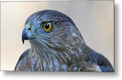 Sharp-shinned Hawk Metal Print by Diane Giurco