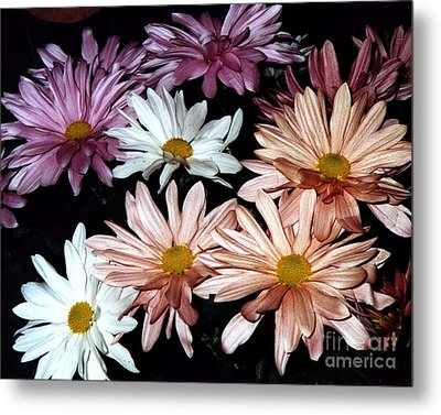 Metal Print featuring the photograph Shasta Daisies by Merton Allen