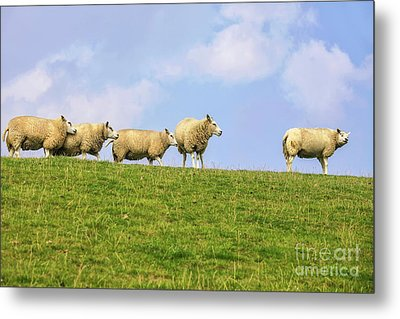 Metal Print featuring the photograph Sheep On Dyke by Patricia Hofmeester