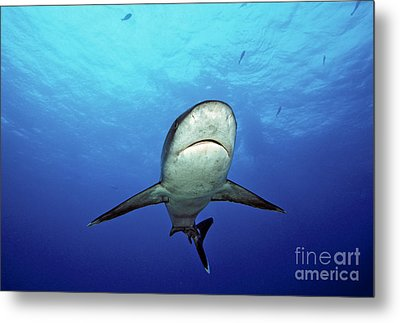Silvertip Shark Metal Print by Dave Fleetham - Printscapes