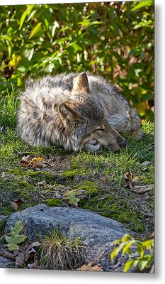 Metal Print featuring the photograph Sleeping Timber Wolf by Michael Cummings