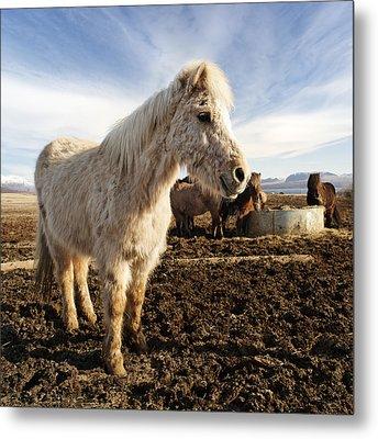 Smiling Icelandic Horse Metal Print