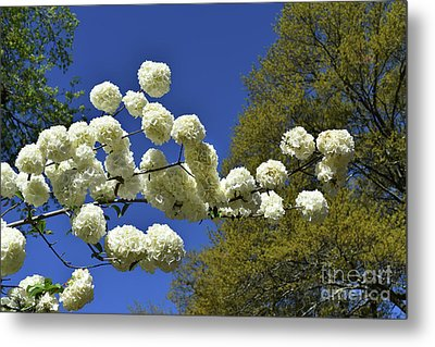 Metal Print featuring the photograph Snowballs by Skip Willits