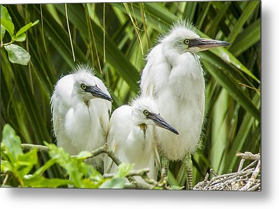 Metal Print featuring the photograph Snowy Egret Chicks by Paula Porterfield-Izzo