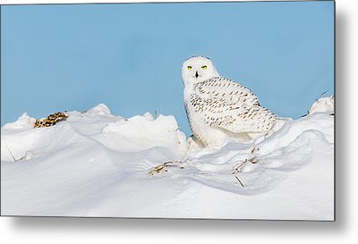 Snowy Owl Metal Print by Dan Traun