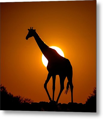 Southern Giraffe Giraffa Camelopardalis Metal Print by Panoramic Images