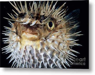 Spiny Puffer Metal Print by Dave Fleetham - Printscapes
