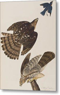 Stanley Hawk Metal Print by John James Audubon