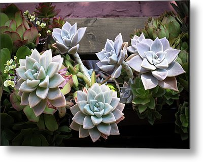 Succulents Metal Print by Catherine Lau