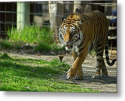Metal Print featuring the photograph Sumatran Tiger by JT Lewis