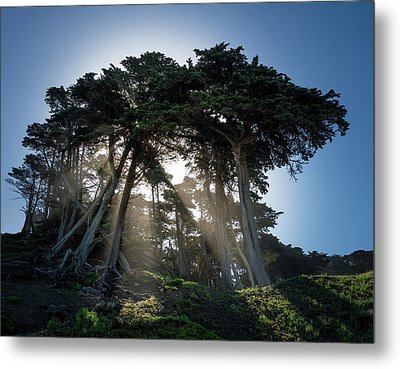 Sunbeams From Large Pine Or Fir Trees On Coast Of San Francisco  Metal Print by Steven Heap