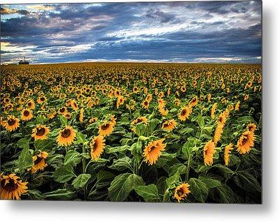 Sunflower Farm Metal Print