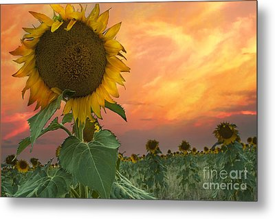Sunflower Field  Metal Print by Juli Scalzi