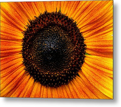 Sunflower Metal Print by Martin Morehead