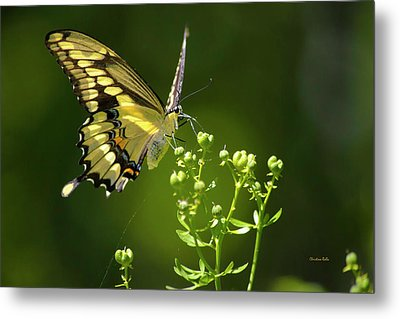 Metal Print featuring the photograph Elegant Swallowtail Butterfly by Christina Rollo