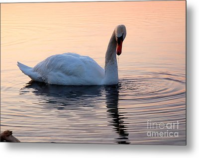 Swan Lake  Metal Print by Joe  Ng