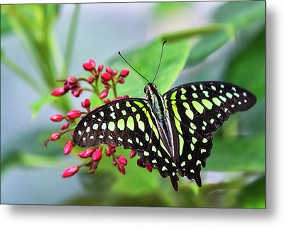 Metal Print featuring the photograph Tailed Green Jay Butterfly  by Saija Lehtonen