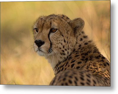 Tears Of A Cheetah Metal Print by Ashley Vincent