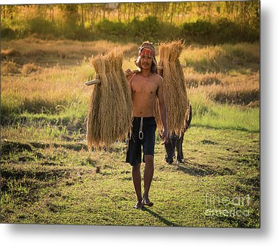Thai Farmer Carrying The Rice On Shoulder After Harvest. Metal Print by Tosporn Preede