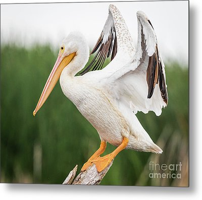 Metal Print featuring the photograph The Amazing American White Pelican  by Ricky L Jones