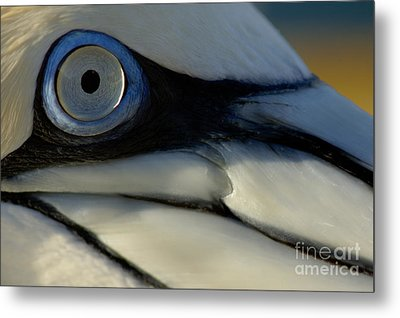 The Eye Of A Northern Gannet Metal Print by Sami Sarkis