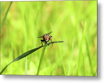 The Fly Metal Print by David Stasiak