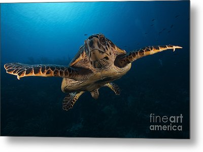 The Hawksbill Sea Turtle, Bonaire Metal Print by Terry Moore
