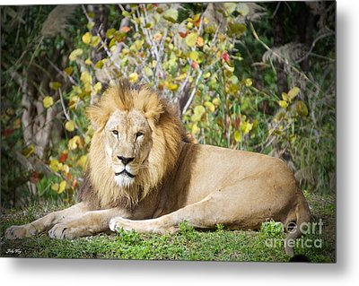 The Lion Pose Metal Print