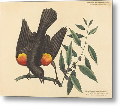 The Red Winged Starling - Oriolus Phoeniceus Metal Print by Mountain Dreams