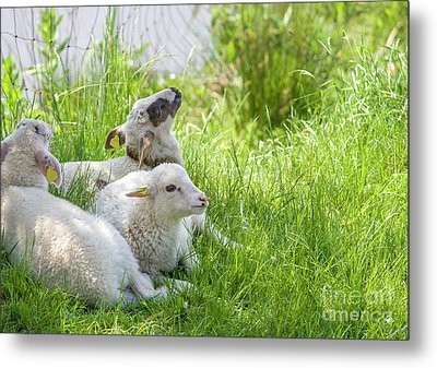 Metal Print featuring the photograph Three Little Lambs by Patricia Hofmeester
