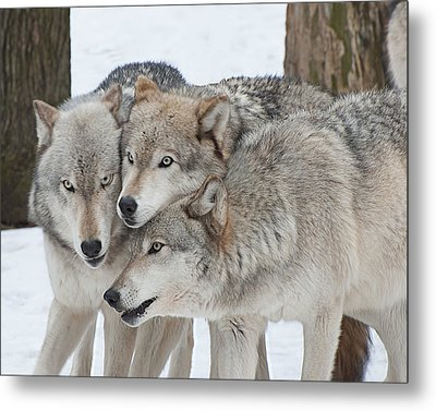 Three Wolves Are A Crowd Metal Print by Gary Slawsky