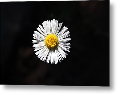 Metal Print featuring the photograph Tidy Fleabane by Charles Ables
