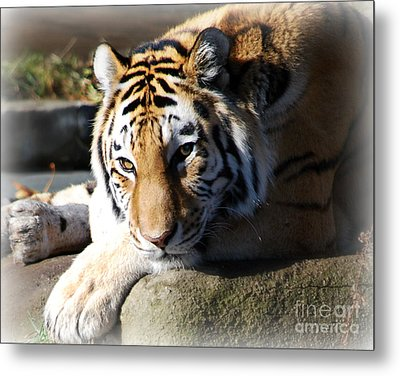Metal Print featuring the photograph Tiger At Cleveland Zoo by Lila Fisher-Wenzel