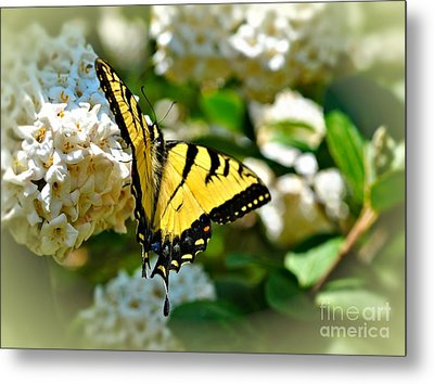 Tiger Swallowtail Metal Print by Elaine Manley