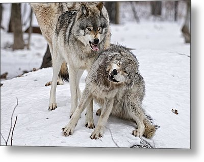 Metal Print featuring the photograph Timber Wolves In Winter by Michael Cummings