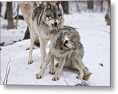 Timber Wolves In Winter Metal Print by Michael Cummings