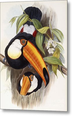 Toucan Metal Print by John Gould