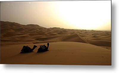 Two Camels At Sunset In The Desert Metal Print by Ralph A  Ledergerber-Photography