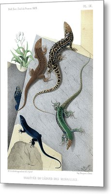 Varieties Of Wall Lizard Metal Print by Jacques von Bedriaga