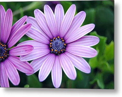 The African Daisy 3 Metal Print
