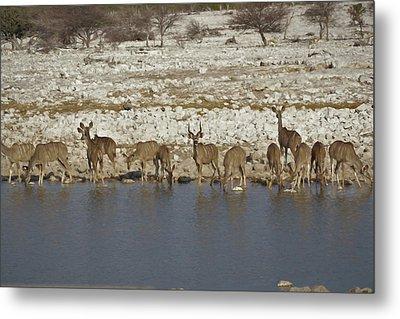 Waterhole Kudu Metal Print by Ernie Echols