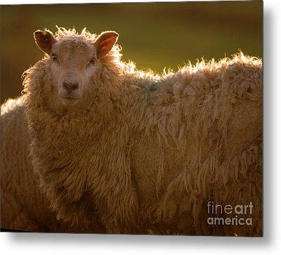 Welsh Lamb In Sunny Sauce Metal Print by Angel  Tarantella