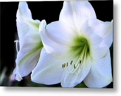 Metal Print featuring the photograph White Amaryllis  by Saija Lehtonen